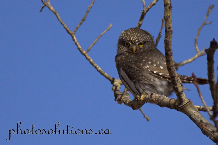 Pygmy Owl Sideview cropped with tail Kananaskis wm