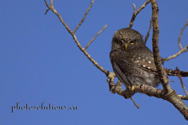 Pygmy Owl Sideview cropped wm Kananaskis