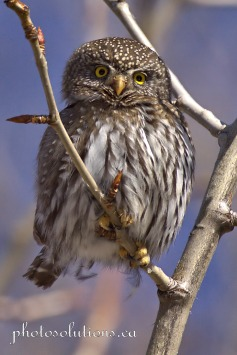 Pygmy Owl so cute Kananaskis cropped wm