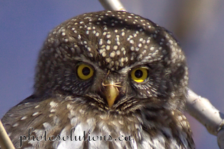 Pygmy Owl Stare down cropped wm