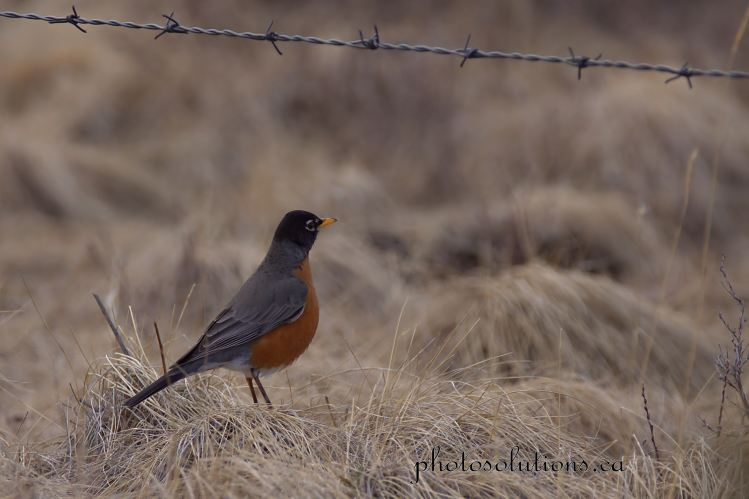 Robin at fenceline Sibbald Creek cropped wm