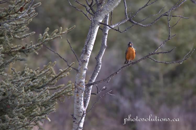 Robin curious Sibbald Creek cropped wm