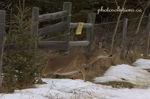 White Tails on Horse Creek Road under fence cropped wm
