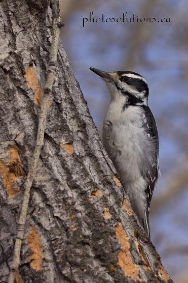 Woodpecker Inglewood cropped wm