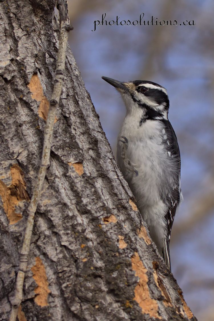 Woodpecker Inglewood cropped wm