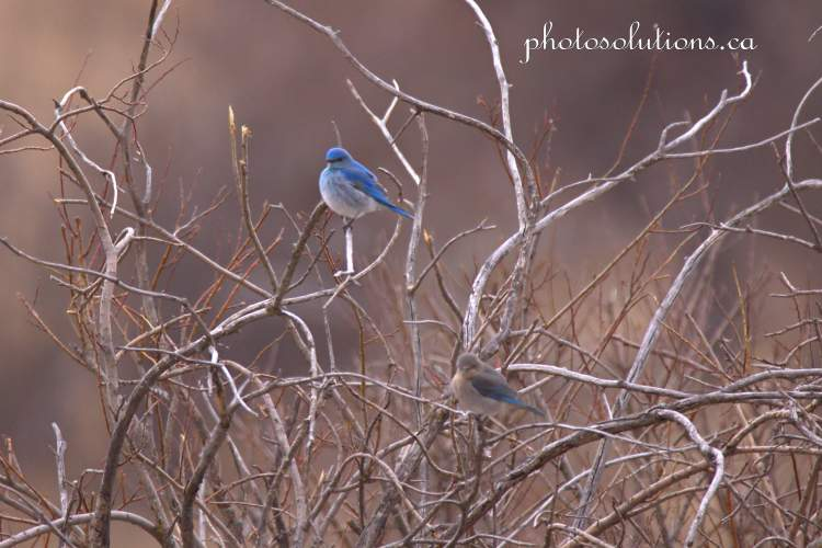 Bluebird pair in bushes off RR 40