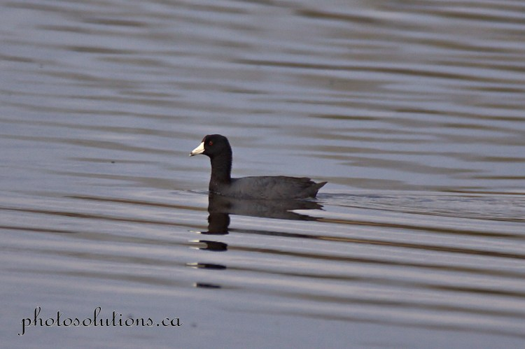 Coot at Lochend Lake croped wm