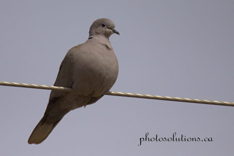 Eurasion Collared-Dove on wire cropped wm