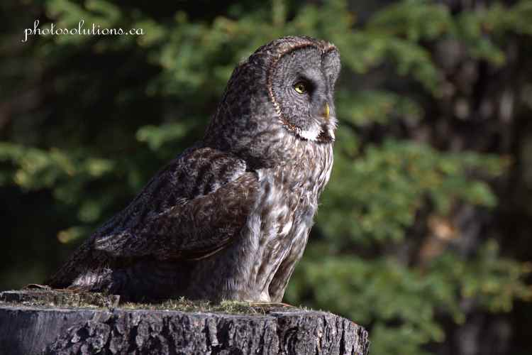 Great Gray Owl side profile on stump cropped wm