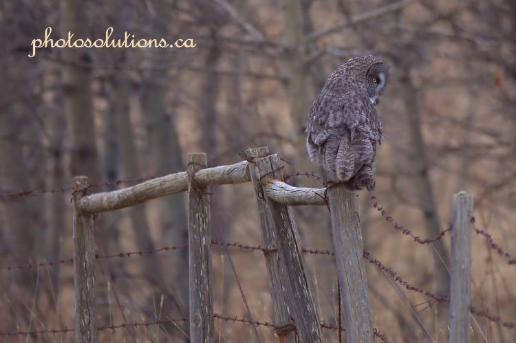 Great Grey Owl fencepost looking down cropped wm