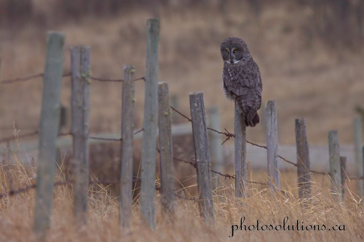 Great Grey Owl looking at prey cropped wm