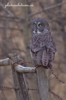 Great Grey Owl Looking back cropped wm