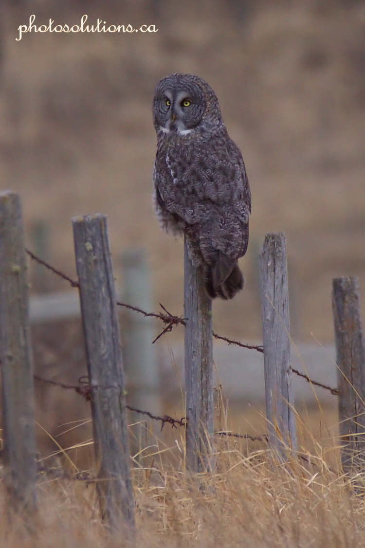 Great Grey Owl looking up cropped wm