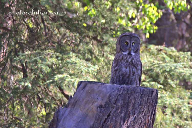 Great Grey Owl on stump first sighting cropped wm