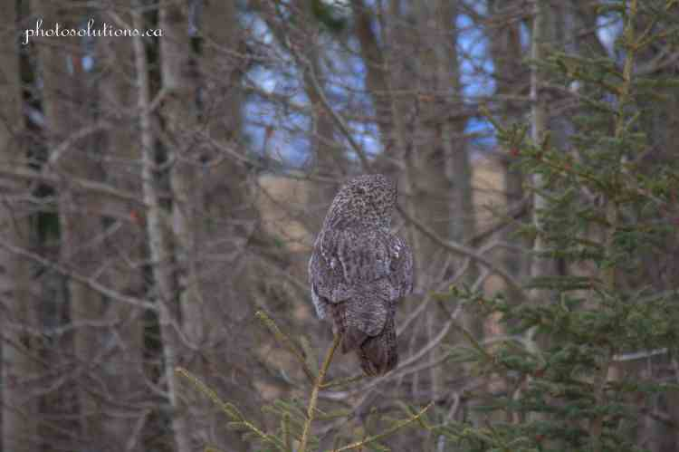 Great Grey Owl spotted Wild Cat Hills wm