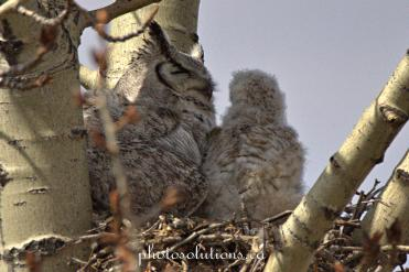 Great Horned feeding baby in afternoon cropped wm