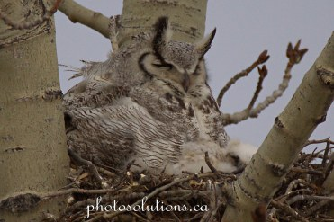 Great horned mom and baby sleeping in morning cropped wm
