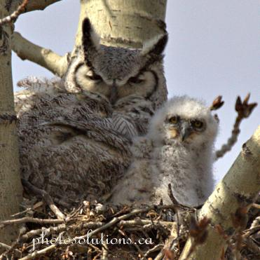 Great Horned owl and baby 1 afternoon cropped wm. jpg