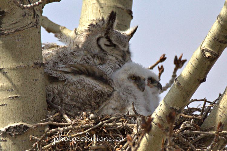 great horned owl then there were 2 babies cropped wm