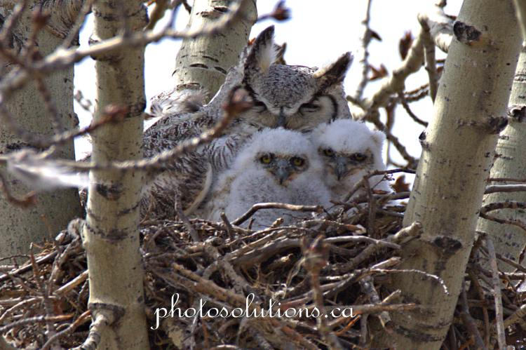 Great horned owl two babies cropped wm