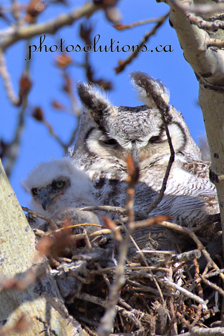 Great Horned with Baby in nest cropped wm