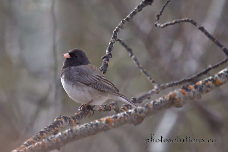 Junco at Paddy Flats near Elbow Falls cropped wm