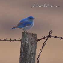 Male Bluebird fencepost RR40 cropped square wm