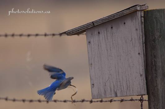 Male Bluebird RR 40 building nest cropped wm