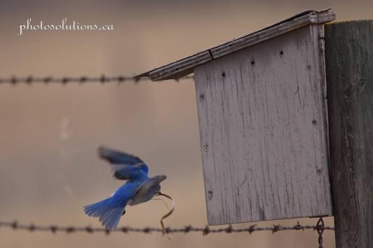 Male Bluebird RR 40 building nest cropped wm