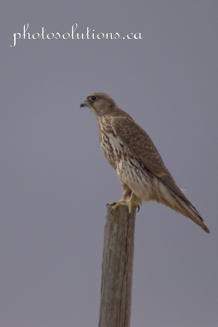 Prairie Falcon Sunday Showcase cropped wm