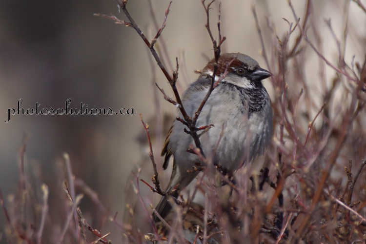 Sparrow at Mitford Park 1