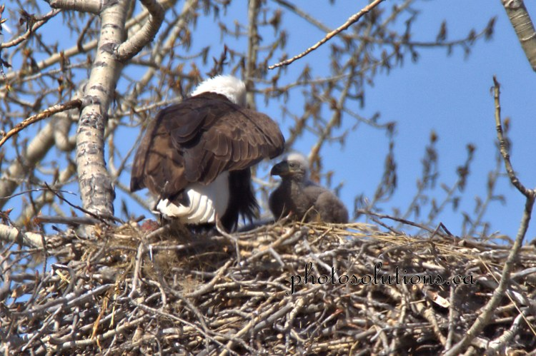 Bald Eagle baby coming out from under wing cropped wm