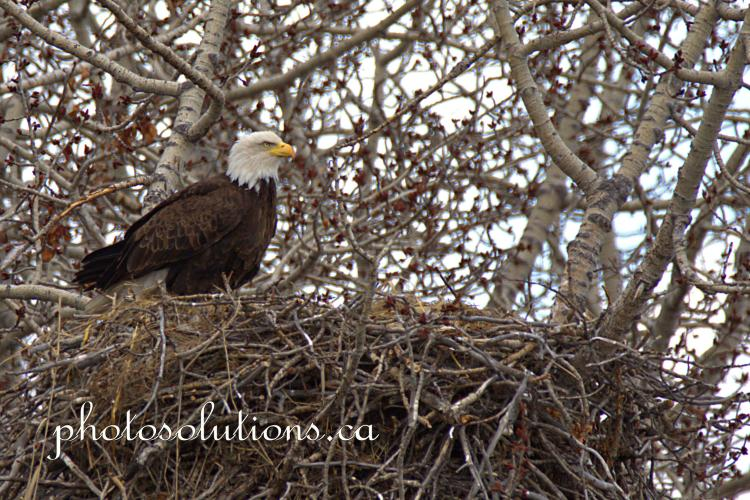 Bald Eagle Female on side of nest April cropped wm