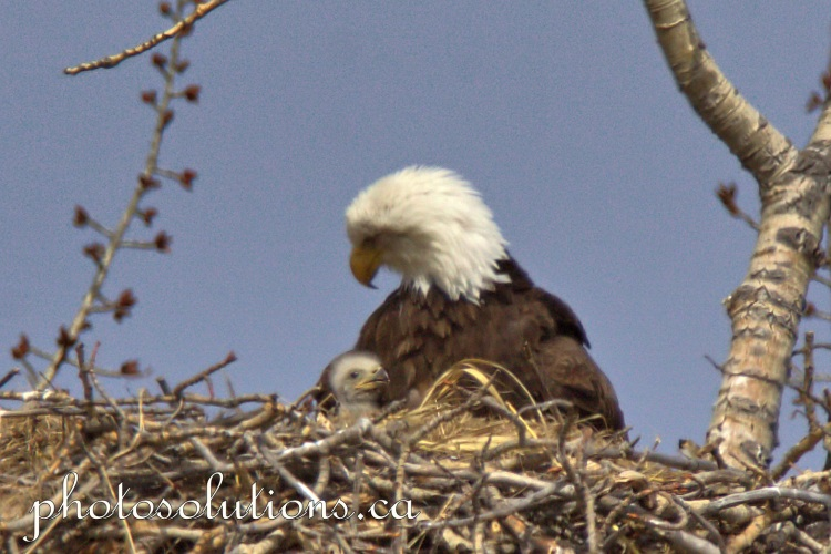 Bald Eagle Female with eaglet coming out from wing cropped wm