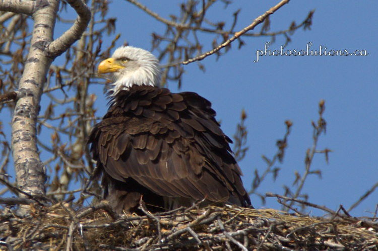 Bald Eagle Mom cropped wm.jpg