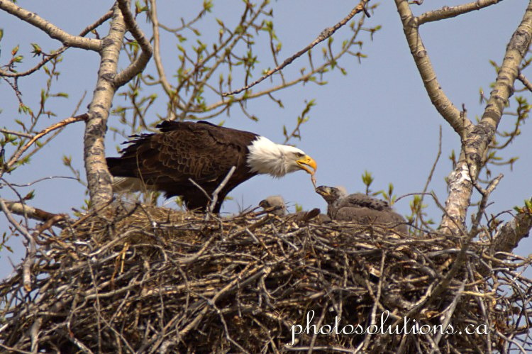 Bald Eagle Mom feeding fish to eaglet oldest 2 cropped wm