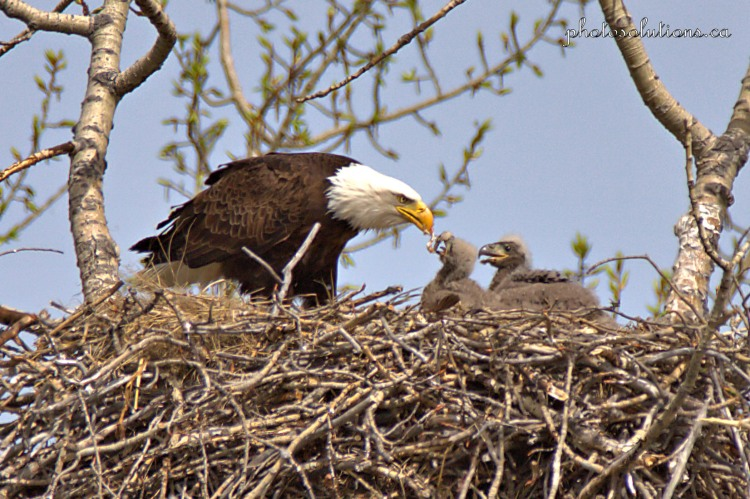 Bald Eagle mom feeding fish to eaglets cropped wm