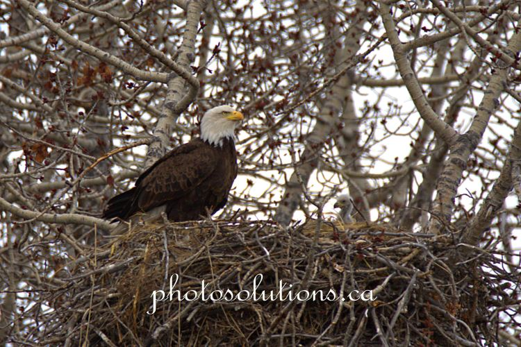 Bald Eagle on side of nest and first sighting of eagle tcropped wm