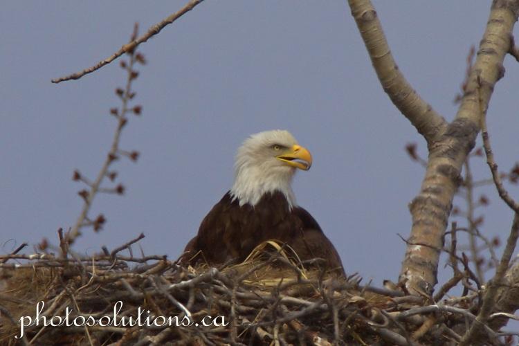 Bald Eagle parent sideways beak open cropped wm