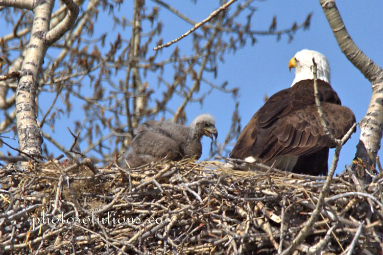 Bald Eaglet Oldest cropped wm