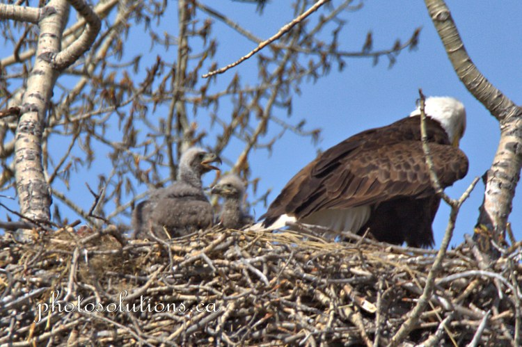 Bald Eaglets siblings cropped wm