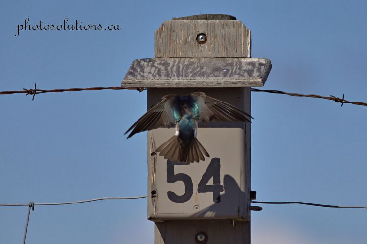 Bluebird house under attach from Tree Swallow cropped wm