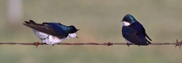 cropped-tree-swallow-conversation-2-cropped-wm.jpg
