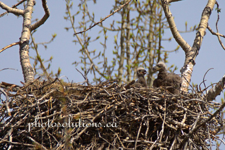 Eaglets on their own in the nest
