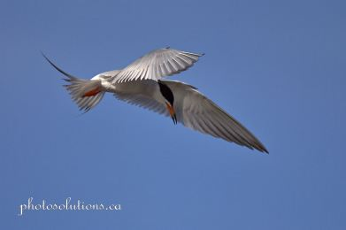 Forster's Tern Frank Lake cropped wm