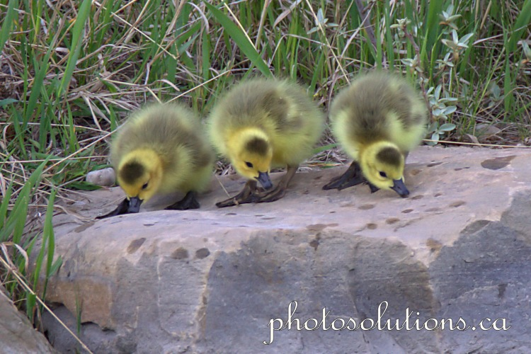 Goslings having a snack cropped wm