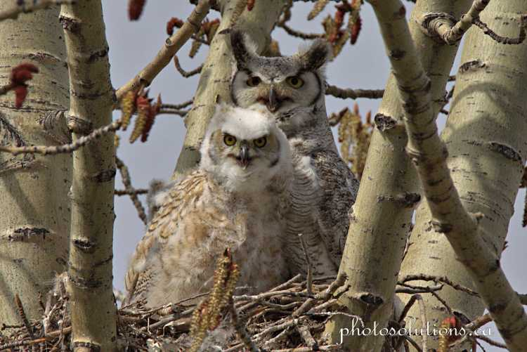 Great Horned awaken by motorcycles cropped wm