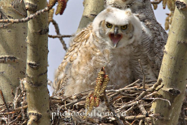 Great horned baby upset about getting woken up cropped wm