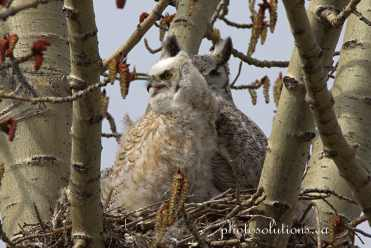 Great Horned Oldest almost as big as mom cropped wm