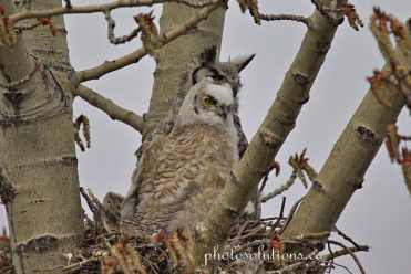 Great horned oldest filling out cropped wm